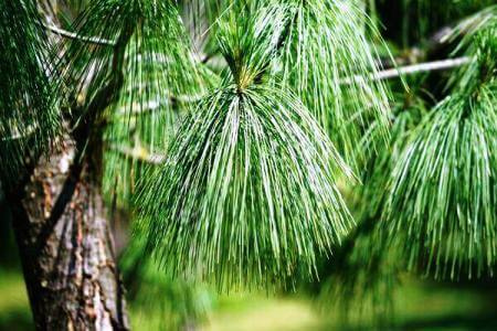 Pine and Spruce Needles Increase Soil Acidity – An Old Wives Tale Debunked